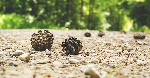 use pine cone chips in your deer hunting scent cover spray solution