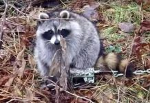 Enclosed Foothold trap for Raccoons