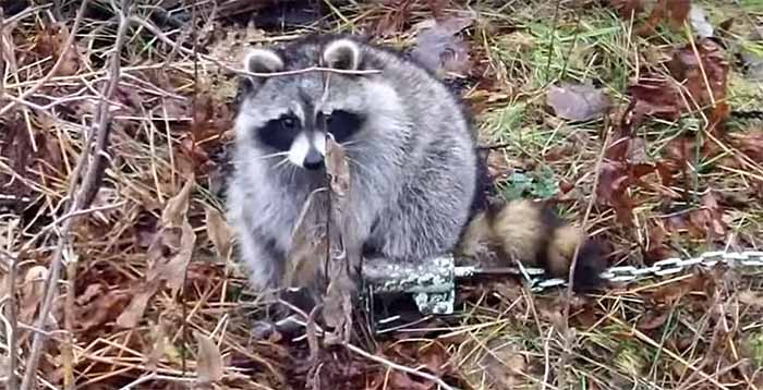 Different Foothold Traps for Raccoons, Coyote, Wolves and other Animals