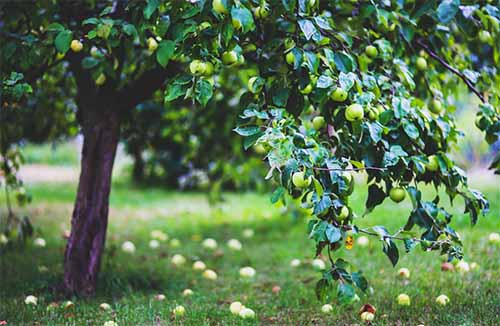apple tree for long term food storage
