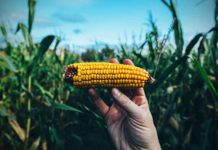 how to grow corn for survival