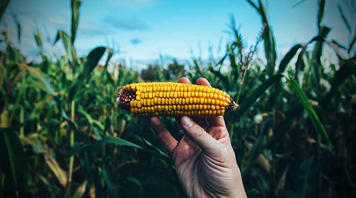 How to Grow Corn and its Many Uses – Survival Crops